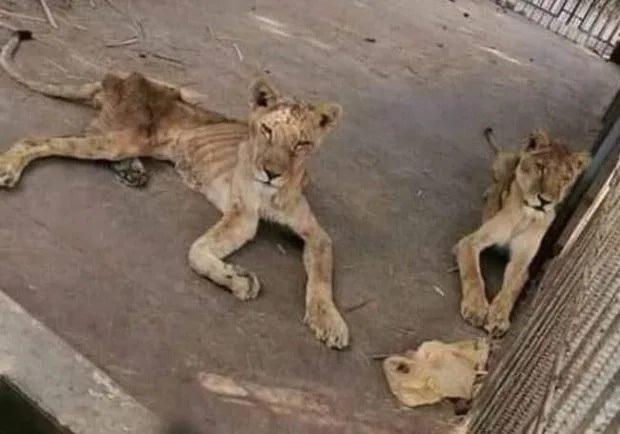 Hình ảnh sư tử đói hốc hác, chỉ còn da bọc xương khiến cộng đồng yêu động vật sục sôi kêu gọi chung tay tìm cách giải cứu - Ảnh 2.