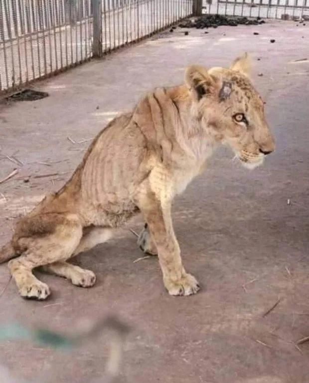 Hình ảnh sư tử đói hốc hác, chỉ còn da bọc xương khiến cộng đồng yêu động vật sục sôi kêu gọi chung tay tìm cách giải cứu - Ảnh 1.