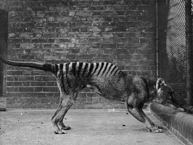 Cứ ngỡ đã tuyệt chủng từ những năm 1930, nhưng có lẽ hổ Tasmania vẫn còn tồn tại đâu đó ngoài kia  - Ảnh 1.