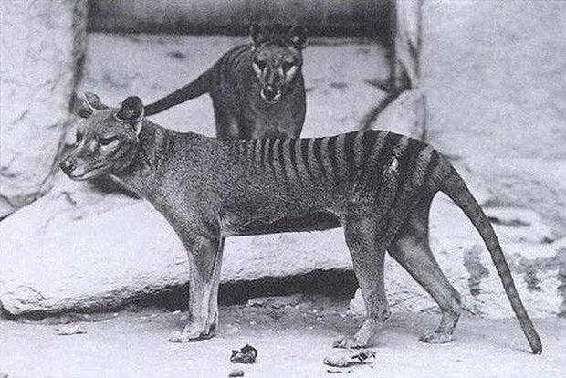 Cứ ngỡ đã tuyệt chủng từ những năm 1930, nhưng có lẽ hổ Tasmania vẫn còn tồn tại đâu đó ngoài kia  - Ảnh 11.