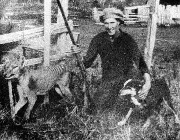 Cứ ngỡ đã tuyệt chủng từ những năm 1930, nhưng có lẽ hổ Tasmania vẫn còn tồn tại đâu đó ngoài kia  - Ảnh 13.