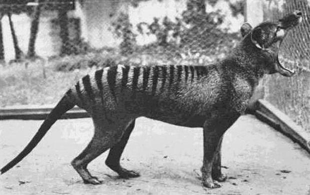 Cứ ngỡ đã tuyệt chủng từ những năm 1930, nhưng có lẽ hổ Tasmania vẫn còn tồn tại đâu đó ngoài kia  - Ảnh 14.