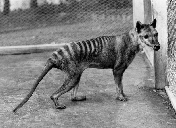 Cứ ngỡ đã tuyệt chủng từ những năm 1930, nhưng có lẽ hổ Tasmania vẫn còn tồn tại đâu đó ngoài kia  - Ảnh 15.