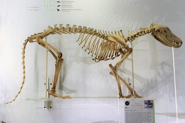 Cứ ngỡ đã tuyệt chủng từ những năm 1930, nhưng có lẽ hổ Tasmania vẫn còn tồn tại đâu đó ngoài kia  - Ảnh 16.