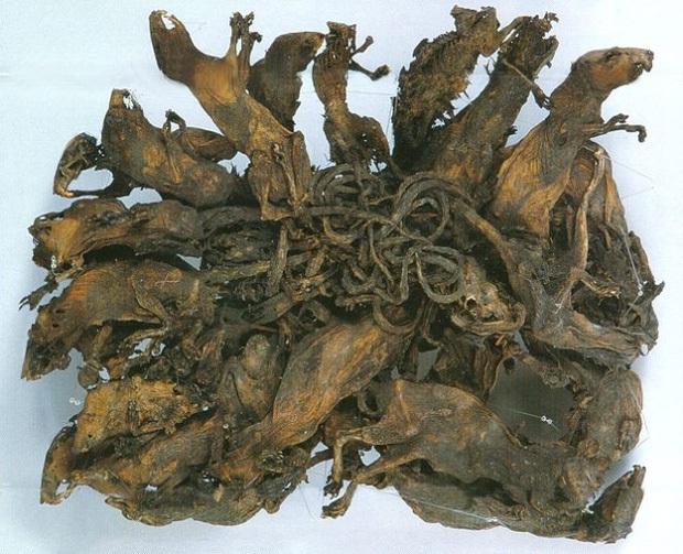 Vua chuột: Tên thì hay nhưng lại là hiện tượng kinh dị hiếm gặp và đầy nguy hiểm liên quan đến cậu Tí - Ảnh 3.