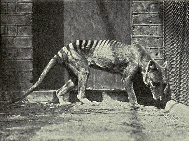 Cứ ngỡ đã tuyệt chủng từ những năm 1930, nhưng có lẽ hổ Tasmania vẫn còn tồn tại đâu đó ngoài kia  - Ảnh 4.
