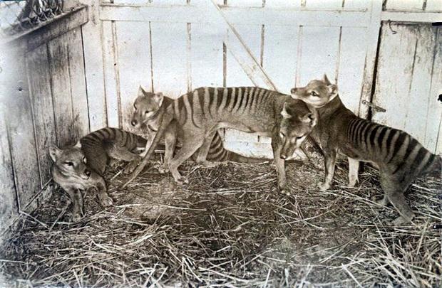 Cứ ngỡ đã tuyệt chủng từ những năm 1930, nhưng có lẽ hổ Tasmania vẫn còn tồn tại đâu đó ngoài kia  - Ảnh 10.