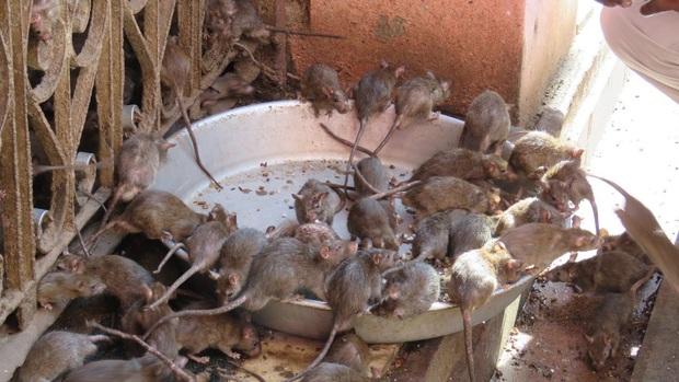 Đội chuột lên đầu, sống lâu trăm tuổi: Nơi cụ Tí được con người yêu thương nhất Trái đất, ngày nào cũng ăn uống thoải mái chẳng sợ bất kỳ điều gì - Ảnh 4.