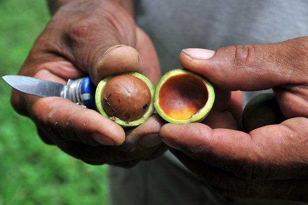 Câu chuyện về loại hạt trong khay mứt Tết của nhiều gia đình: Đắt đỏ nhất thế giới, nhưng là có lý do của nó - Ảnh 4.
