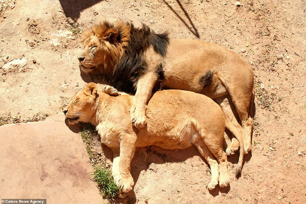 Hết Tết rồi! Dậy đi làm thôi!: Loạt ảnh động vật ngủ nướng cute hết mức khiến ai cũng phải phì cười vì bắt gặp bản thân ở trong đấy - Ảnh 6.