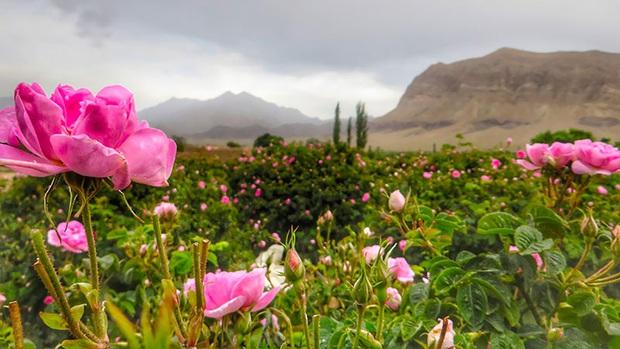 Câu chuyện về những bông hồng thơm nhất thế giới của Iran: Cả một thị trấn toàn hoa hồng, người dân làm một tháng là đủ tiền tiêu cả năm không hết - Ảnh 2.