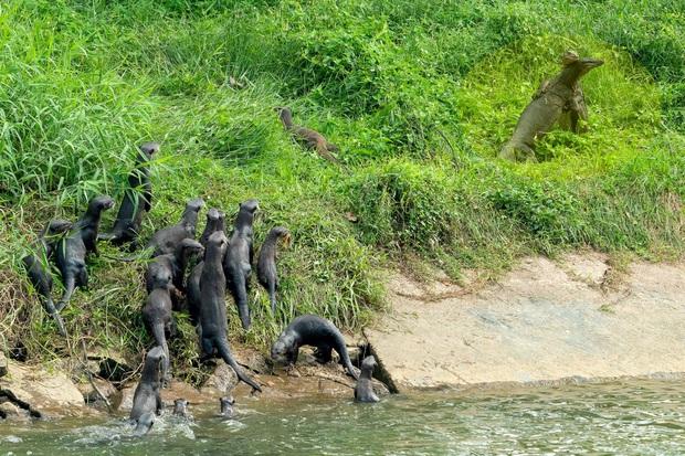 Clip: Nom thấy kỳ đà đánh nhau dữ dội trên bờ, cả gia tộc rái cá từ dưới sông lao lên hít drama bằng được - Ảnh 3.