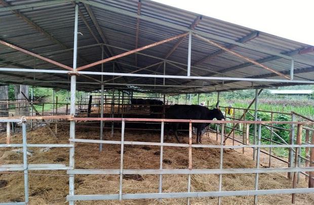 Người chăm đàn bò tót gen quý gầy trơ xương: Chờ được tiền xuống thì bò chết - Ảnh 2.