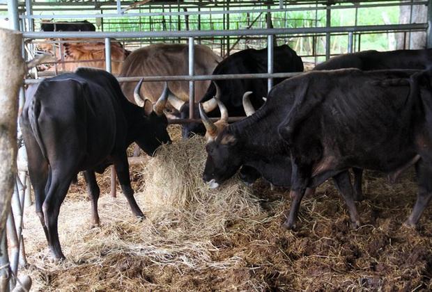 Người chăm đàn bò tót gen quý gầy trơ xương: Chờ được tiền xuống thì bò chết - Ảnh 4.