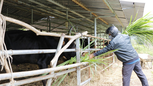 Giải cứu khẩn cấp đàn bò tót F1 gầy trơ xương, chờ chết đói - Ảnh 3.