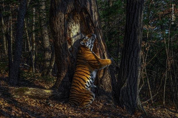 Bức ảnh hổ ôm cây giành giải thưởng nhiếp ảnh danh giá, tác giả tiết lộ quá trình tác nghiệp càng thấy đáng khâm phục hơn - Ảnh 1.