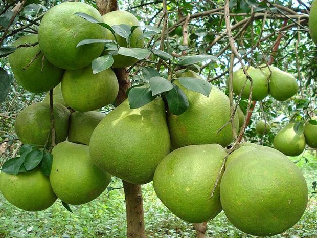 Việt Nam có loạt trái cây đặc sản ngon nức tiếng chỉ được trồng ở vài địa phương, một số loại còn xuất khẩu sang cả nước ngoài - Ảnh 4.