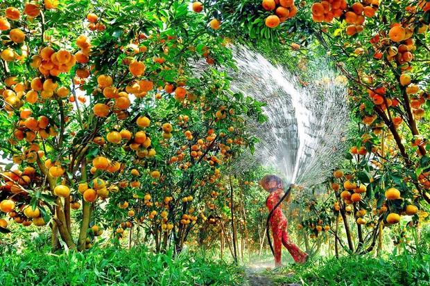 Việt Nam có loạt trái cây đặc sản ngon nức tiếng chỉ được trồng ở vài địa phương, một số loại còn xuất khẩu sang cả nước ngoài - Ảnh 14.