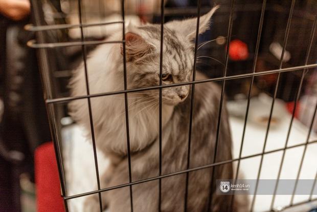 Nhan sắc dàn đại boss trong triển lãm mèo ở Hà Nội: Nét đẹp độc lạ chiếm spotlight hay vẻ cute vô số tội được yêu hơn? - Ảnh 11.