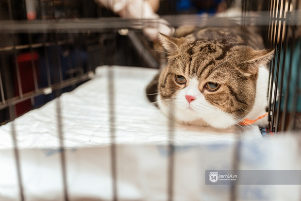 Nhan sắc dàn đại boss trong triển lãm mèo ở Hà Nội: Nét đẹp độc lạ chiếm spotlight hay vẻ cute vô số tội được yêu hơn? - Ảnh 4.