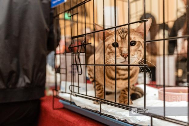 Nhan sắc dàn đại boss trong triển lãm mèo ở Hà Nội: Nét đẹp độc lạ chiếm spotlight hay vẻ cute vô số tội được yêu hơn? - Ảnh 5.