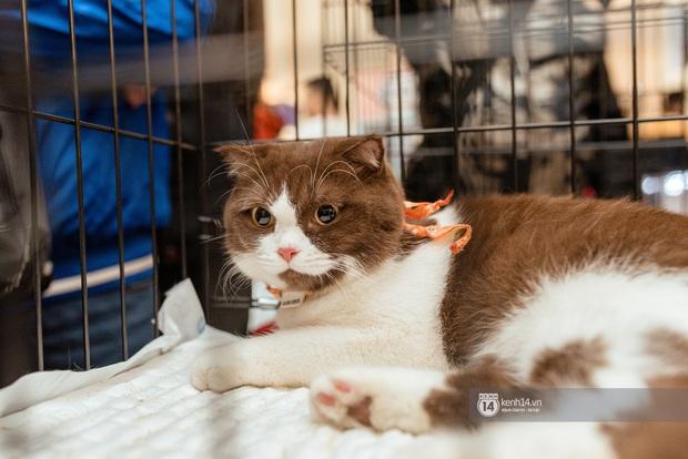 Nhan sắc dàn đại boss trong triển lãm mèo ở Hà Nội: Nét đẹp độc lạ chiếm spotlight hay vẻ cute vô số tội được yêu hơn? - Ảnh 3.