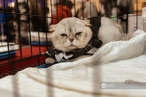 Nhan sắc dàn đại boss trong triển lãm mèo ở Hà Nội: Nét đẹp độc lạ chiếm spotlight hay vẻ cute vô số tội được yêu hơn? - Ảnh 2.