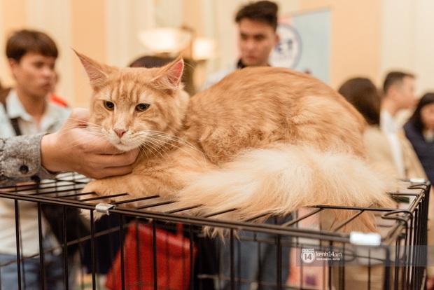 Nhan sắc dàn đại boss trong triển lãm mèo ở Hà Nội: Nét đẹp độc lạ chiếm spotlight hay vẻ cute vô số tội được yêu hơn? - Ảnh 8.