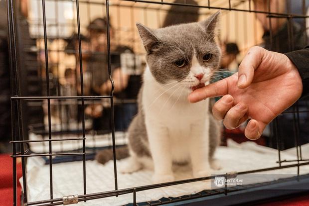 Nhan sắc dàn đại boss trong triển lãm mèo ở Hà Nội: Nét đẹp độc lạ chiếm spotlight hay vẻ cute vô số tội được yêu hơn? - Ảnh 7.