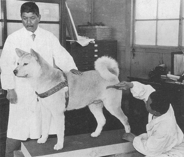 Những bức ảnh hiếm hoi về Hachikō - biểu tượng trung thành của người Nhật khiến người xem cảm tưởng câu chuyện đau lòng ấy đang diễn ra trước mắt - Ảnh 11.
