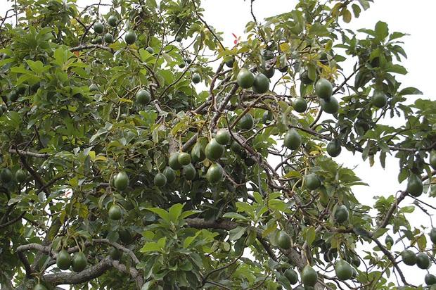 Ăn các loại thực phẩm này bấy lâu nay, bạn có biết chúng được trồng trọt và thu hoạch như thế nào không? (Phần 2) - Ảnh 18.