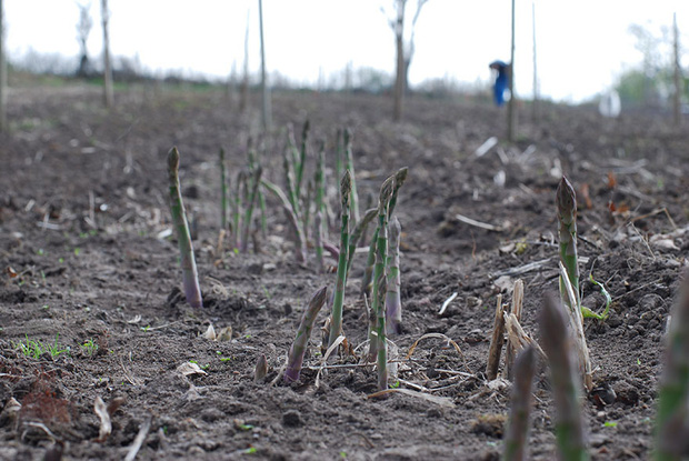 Ăn các loại thực phẩm này bấy lâu nay, bạn có biết chúng được trồng trọt và thu hoạch như thế nào không? (Phần 2) - Ảnh 20.