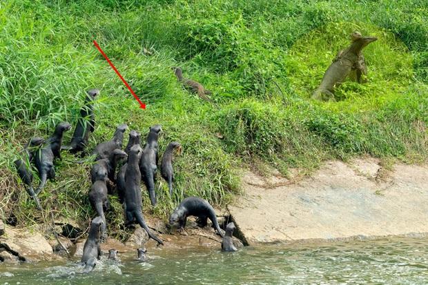 Tưởng ôm nhau thắm thiết, 2 con kỳ đà thực chất đang choảng nhau nhưng chiếm hết spotlight là đàn rái cá vừa thấy biến đã bơi vào bờ để... hóng - Ảnh 2.