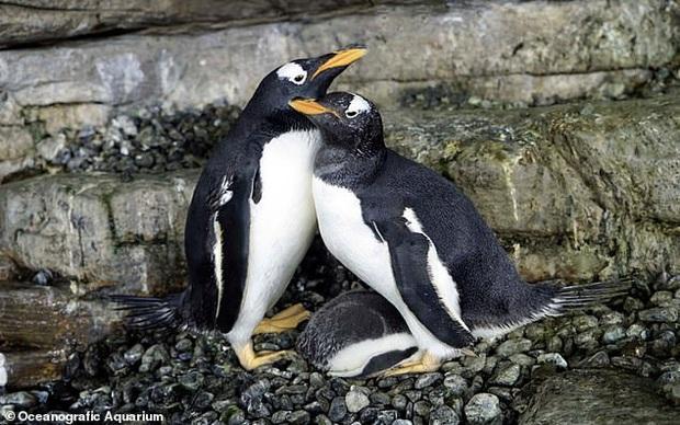 Drama sở thú: Cặp cánh cụt đồng tính đực trộm trứng của đôi cánh cụt đồng tính cái về ấp, nhưng đời không như mơ - Ảnh 3.