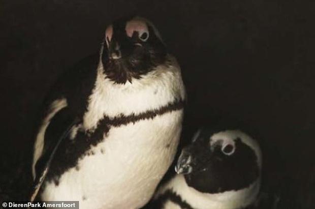 Drama sở thú: Cặp cánh cụt đồng tính đực trộm trứng của đôi cánh cụt đồng tính cái về ấp, nhưng đời không như mơ - Ảnh 2.