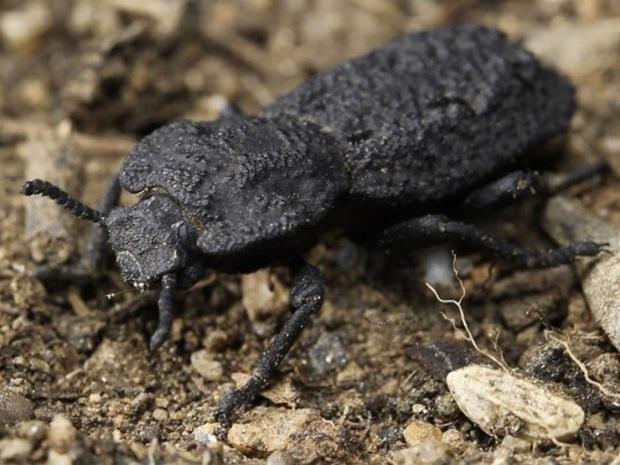 Đây là loài bọ mình đồng da sắt của thế giới tự nhiên, ô tô 1,6 tấn cán không chết - Ảnh 1.