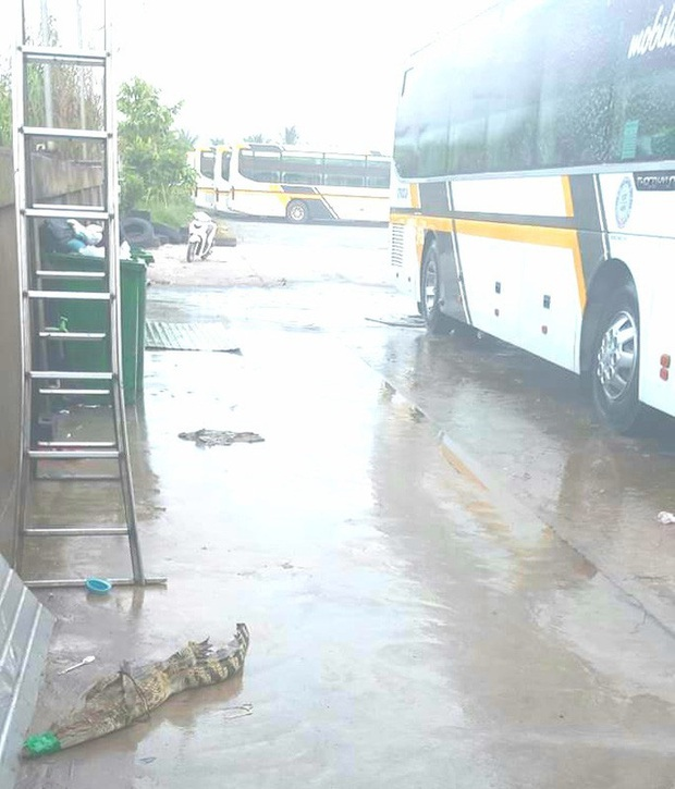 Cá sấu lại sổng chuồng, bò vào bãi xe khách ở miền Tây - Ảnh 1.