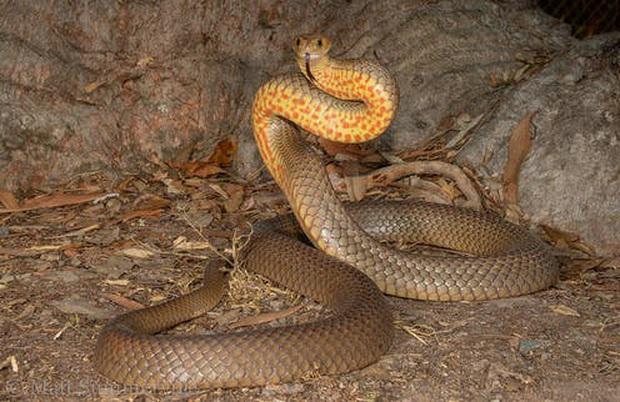 Trong tấm hình này có một sinh vật cực kỳ nguy hiểm, và nó cho thấy bạn cần chuẩn bị kỹ như thế nào để sinh tồn được ở Úc - Ảnh 3.