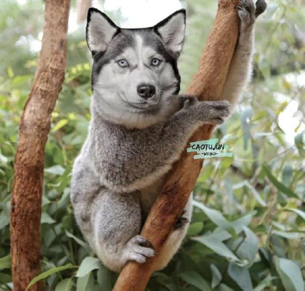 Bộ ảnh chú Husky mặt ngáo phối giống với cả thế giới khiến người xem thấy sai vô cùng - Ảnh 4.