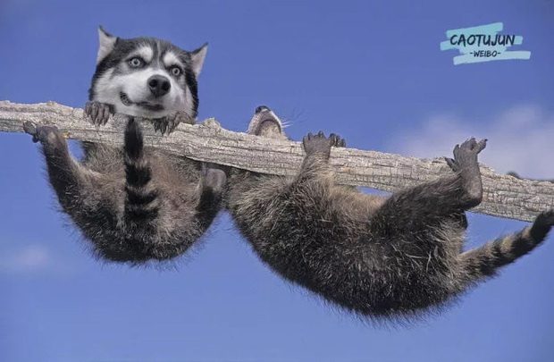 Bộ ảnh chú Husky mặt ngáo phối giống với cả thế giới khiến người xem thấy sai vô cùng - Ảnh 5.