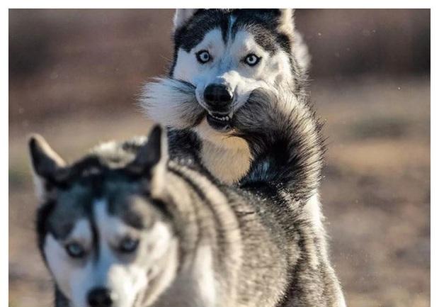 Bộ ảnh chú Husky mặt ngáo phối giống với cả thế giới khiến người xem thấy sai vô cùng - Ảnh 9.