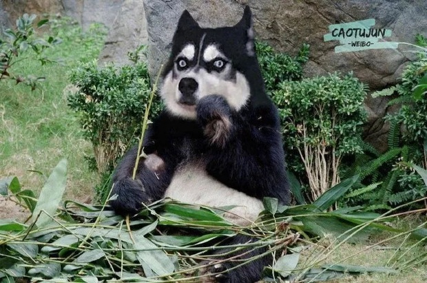 Bộ ảnh chú Husky mặt ngáo phối giống với cả thế giới khiến người xem thấy sai vô cùng - Ảnh 10.