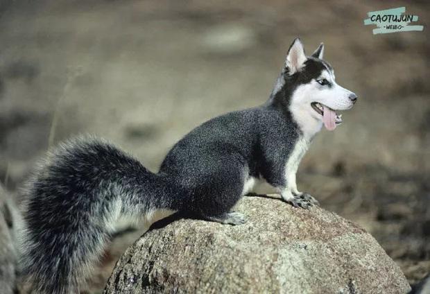 Bộ ảnh chú Husky mặt ngáo phối giống với cả thế giới khiến người xem thấy sai vô cùng - Ảnh 11.