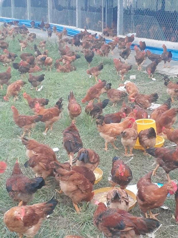 10.000 con gà chết chất thành đống sau lũ, chủ trang trại đau lòng: Mất hết rồi, tôi không dám nhìn vào 2 chuồng gà nhà mình nữa - Ảnh 3.