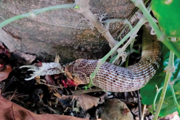 Phát hiện loài rắn có cách săn mồi tàn nhẫn và kinh khủng bậc nhất từ trước đến nay - Ảnh 2.