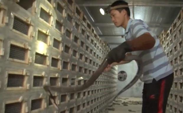 Vĩnh Phúc: Trở thành tỷ phú nhờ nuôi loài tử thần ăn thức ăn 5.000 đồng/bữa - Ảnh 1.