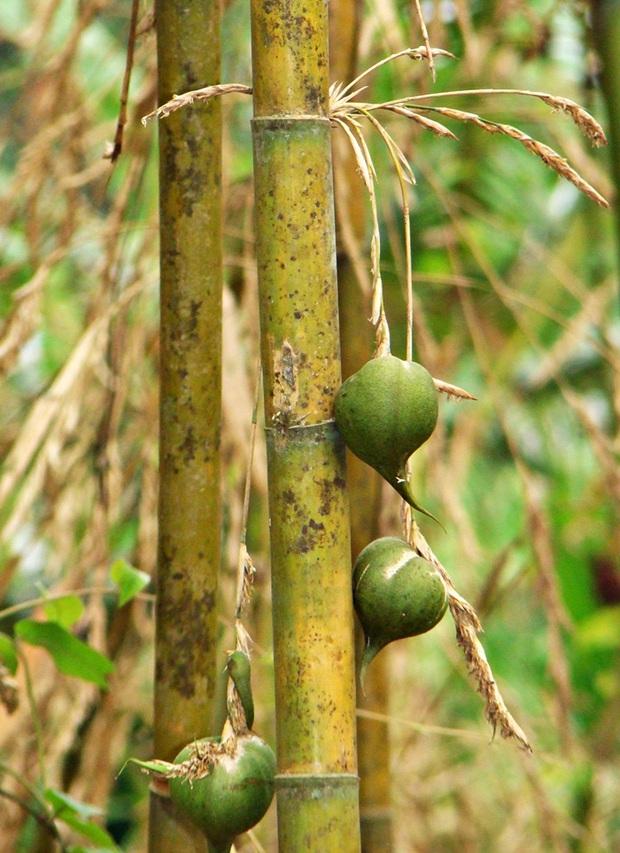 Có 2 loại cây muốn ăn phải đợi 60 năm mới kết trái, nhiều người chờ đến già mà vẫn không biết vị nó như thế nào? - Ảnh 2.