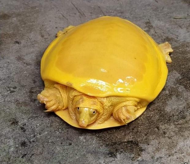 Bí mật gì đằng sau 2 chú rùa có màu vàng đến vô lý đang gây bão mạng xã hội những ngày qua? - Ảnh 1.