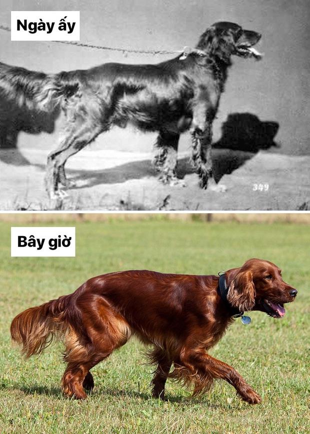 Sự thay đổi về ngoại hình của những chú chó cưng 100 năm trước và hiện tại sẽ khiến bạn bất ngờ đấy - Ảnh 8.