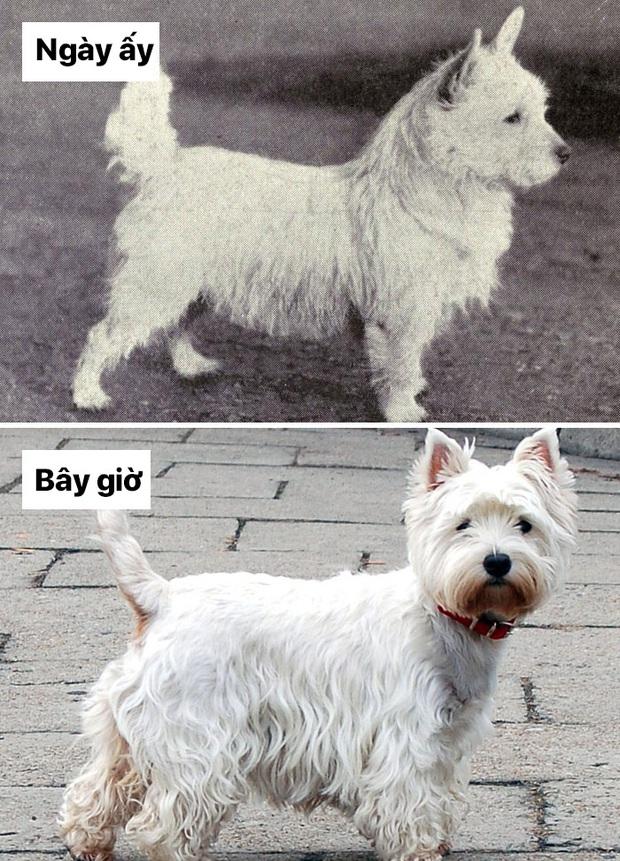 Sự thay đổi về ngoại hình của những chú chó cưng 100 năm trước và hiện tại sẽ khiến bạn bất ngờ đấy - Ảnh 9.